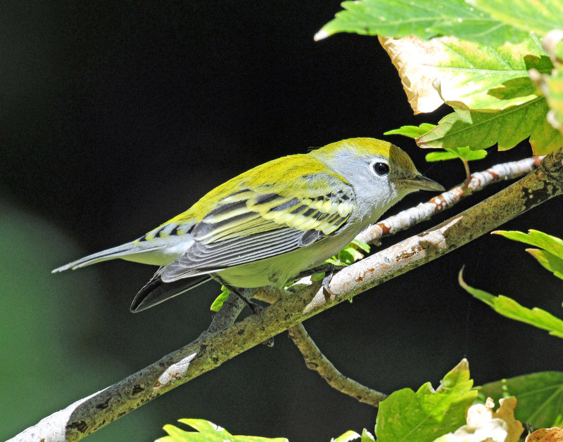 Warbler, Chestnut-sided (First year female)