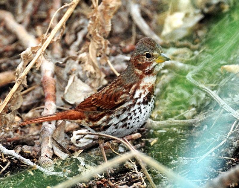 Sparrow, (Red) Fox