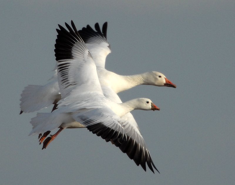 Comparison-Lesser Snow & Rosss Geese (not photoshopped)
