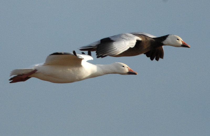 Geese, Lesser Snow