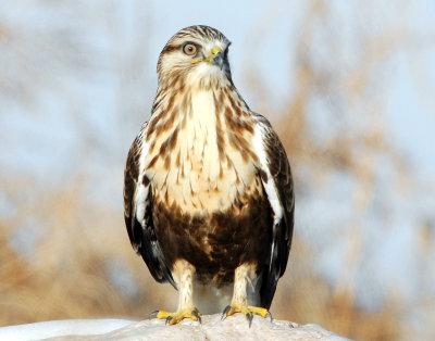 Hawk Rough-legged D-008.jpg