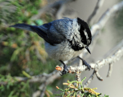 Chickadee, Mountain
