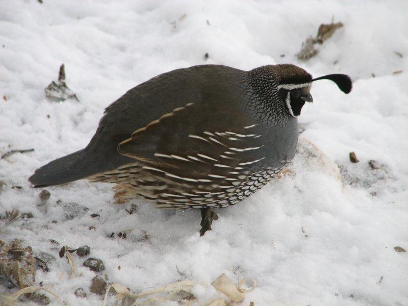 137 California quail male.JPG