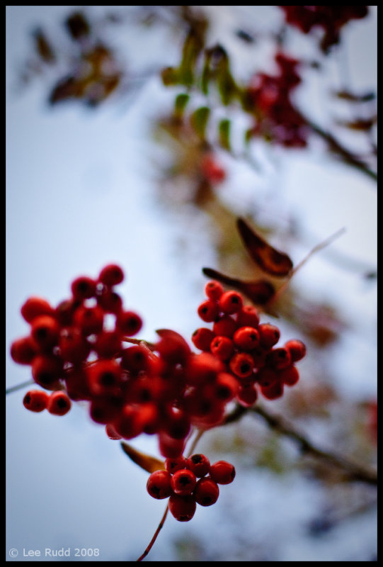 Bunched Berries