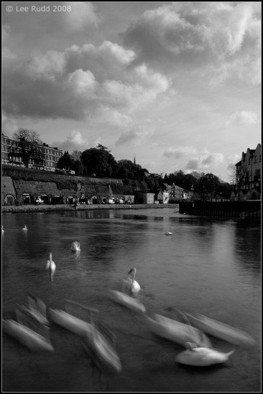 Swans Rush