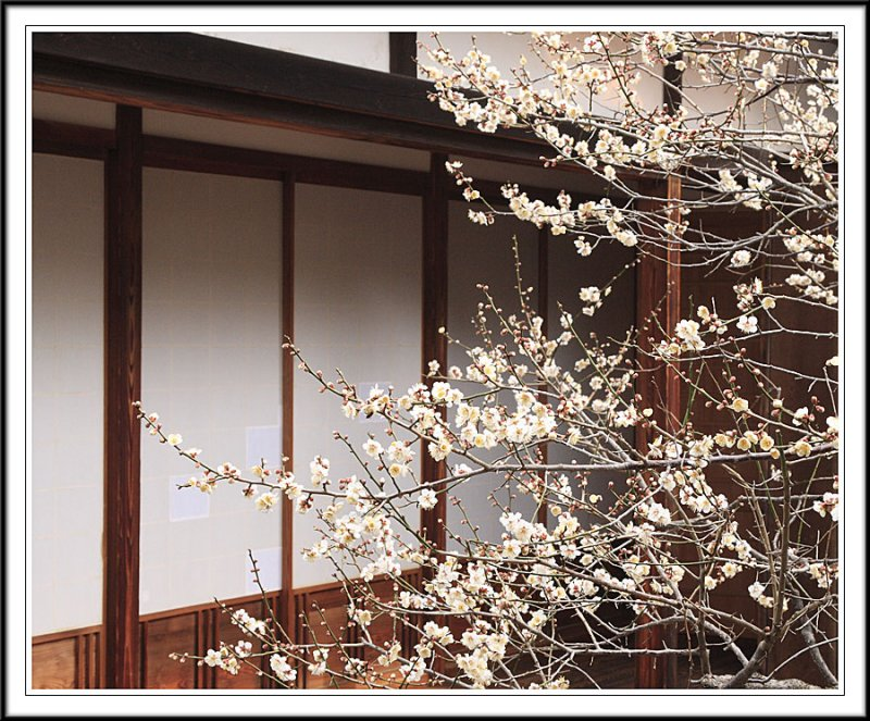 White Plum flowers in Kodokan Hall