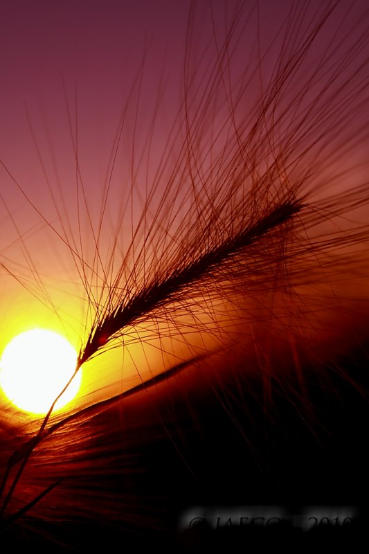Sunset Foxtail