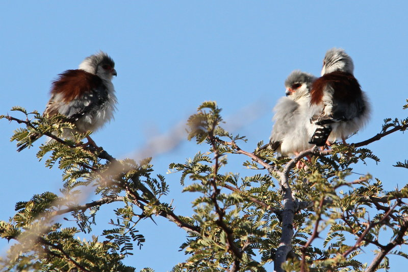 four Pygmy Falcons involved in mating displays in tree by lodge