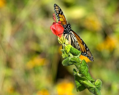 Monarch and Turks Cap