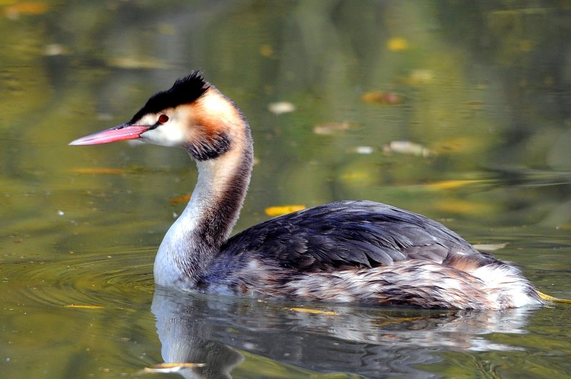 Great Crested Grebe. Barnwell. Oundle. UK