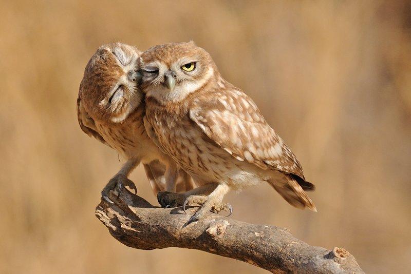<h5>Little Owl - &#1499;&#1493;&#1505; &#1492;&#1495;&#1493;&#1512;&#1489;&#1493;&#1514; - <i>Athene noctua<i></h5>