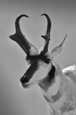 Antelope, Western Montana