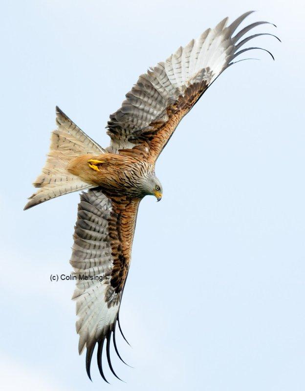 7988 Welsh Red Kite - 4 - web.jpg
