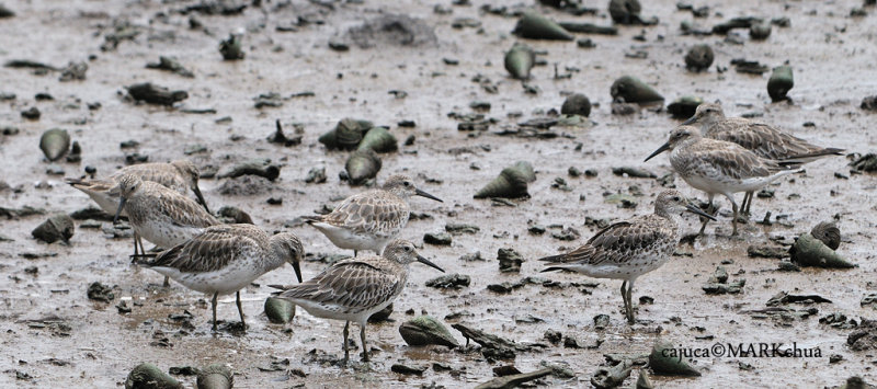 8 x Great knot