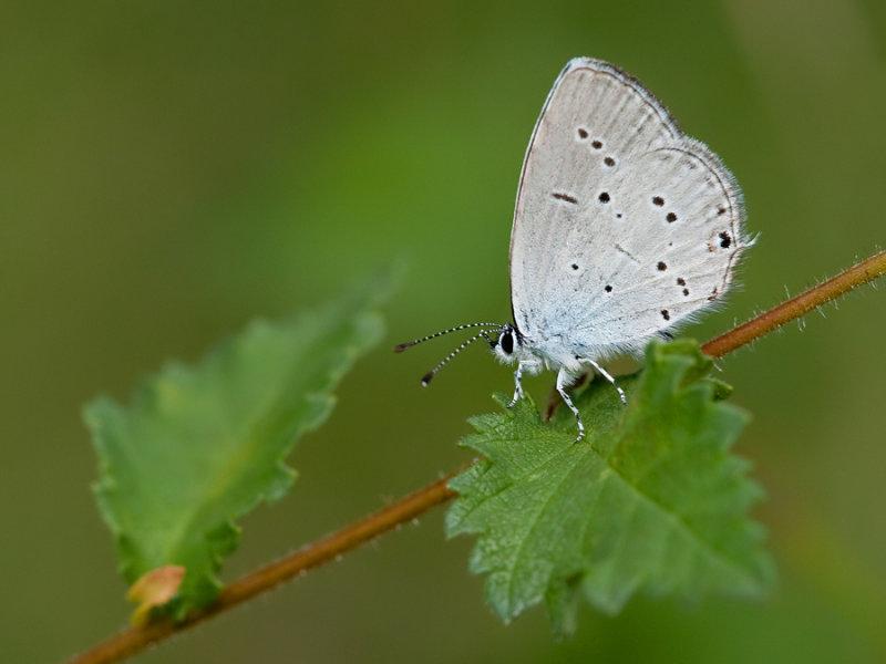 Provençal Short-tailed Blue / Zuidelijk staartblauwtje