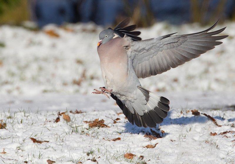 Woodpigeon / Houtduif