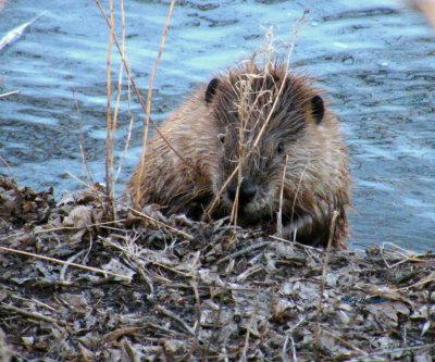 Peeking Beaver