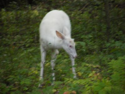 White Buck Fawn