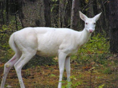 Young white deer