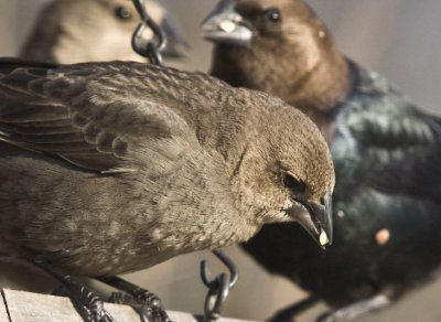 Board meeting, male and female cowbirds