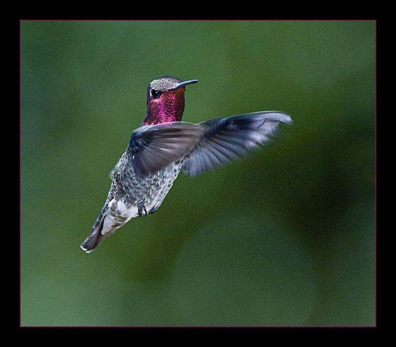 Ruby-throated Hummingbird_