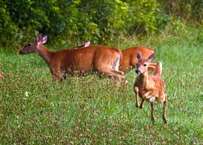 Running Fawn, Boxley Valley