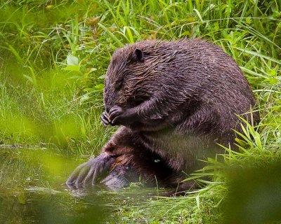 Praying Beaver