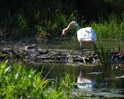 Trumpeter Swan and Racoon on Beaver Dam