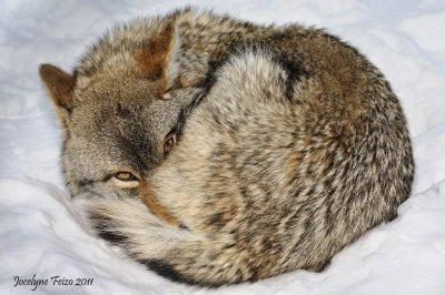Coyote / Coyote