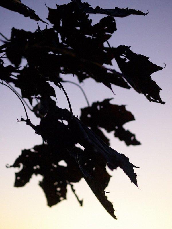 2010-10-07 Dark leafs