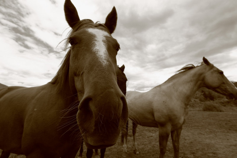 Three Rockport Horses <br> (H061310-10adj.jpg