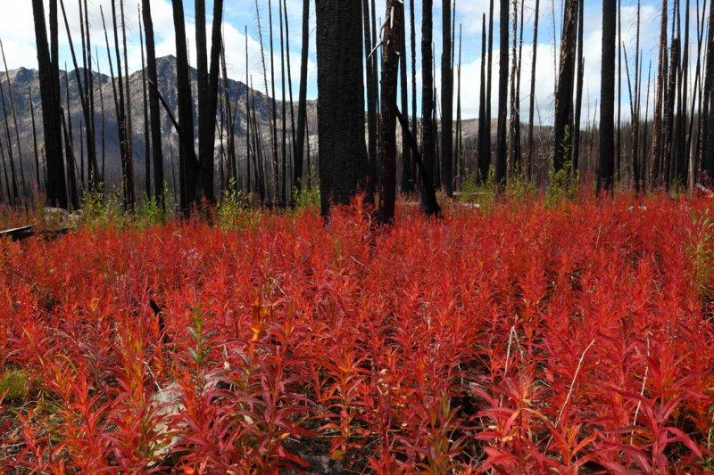 Fireweed, Iron Gate - Sunny Pass Trail <br> (HshoeBsn091610-056adj.jpg)*