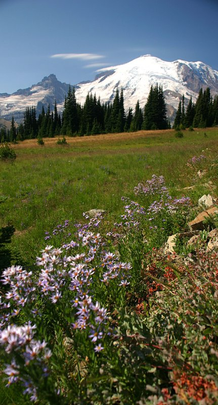 Wild flower and Mt. Rainier