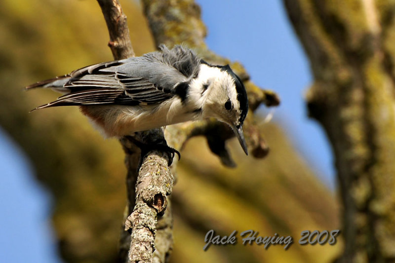 Nuthatch high in a tree