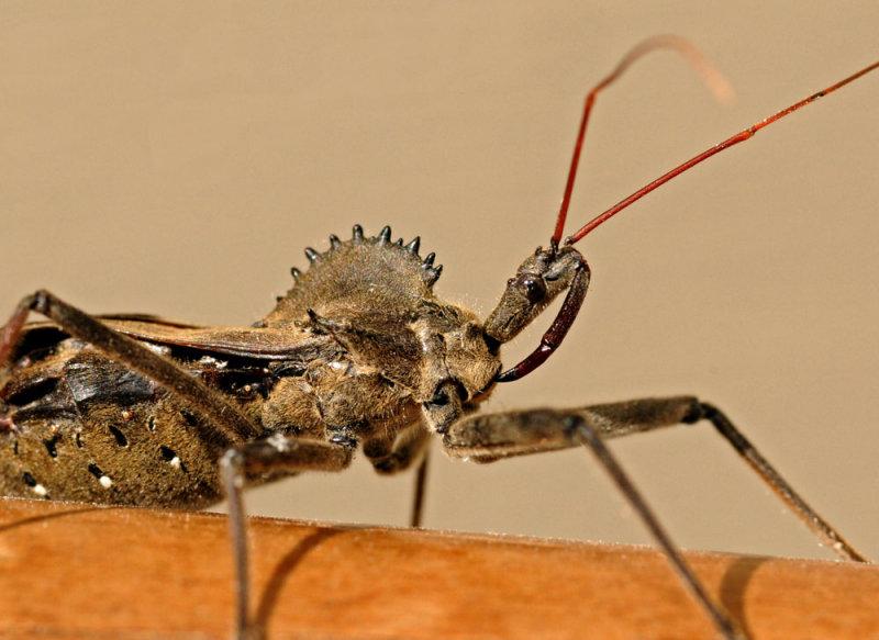 Adult Wheel Bug (Assissin Bug)