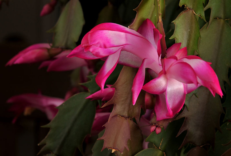 Christmas Cactus Blooms (for Thanksgiving?)