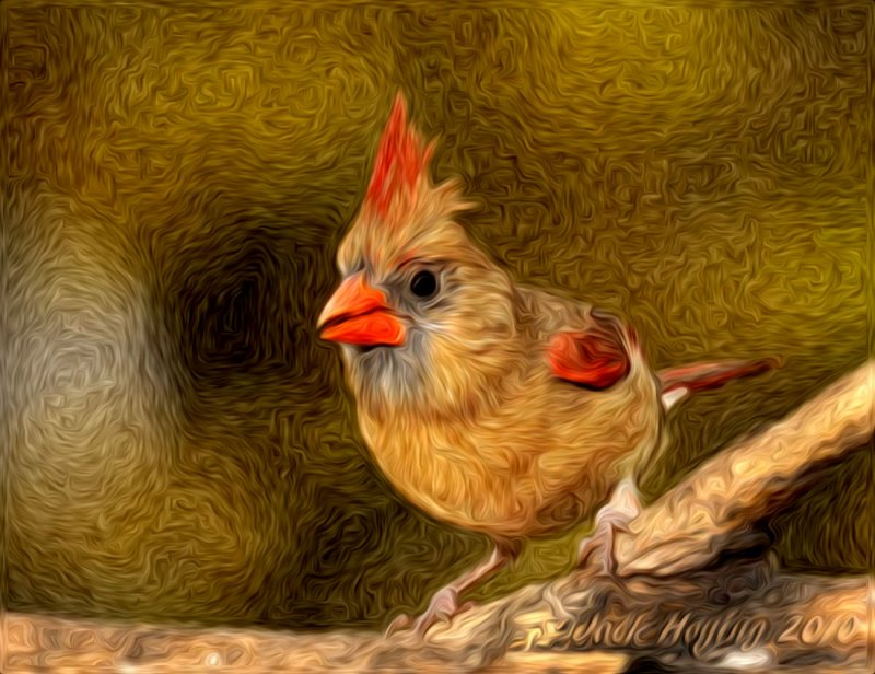 Female Cardinal with Photoshop Pixelbender