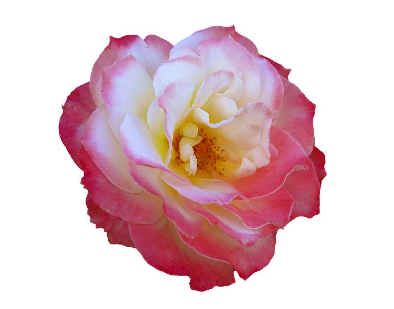 2008 - Rose 06