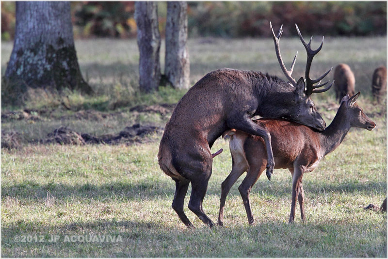 accouplement cerf - red deer mating.JPG