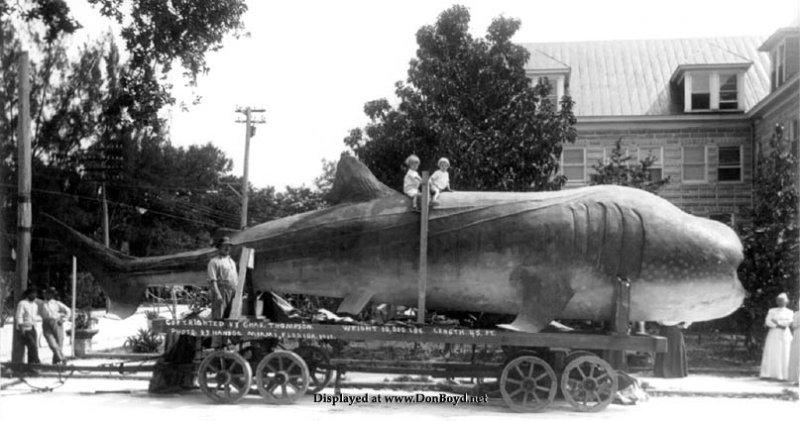 1913 - 2 kids on a dead whale shark on public display