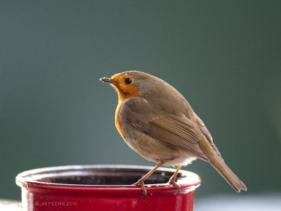 Erithacus rubecula - Rougegorge familier - European Robin