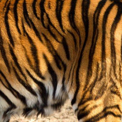 Tigre - Tiger