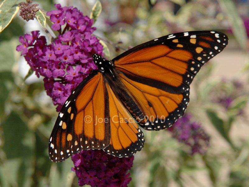 Monarch_01.5.jpg