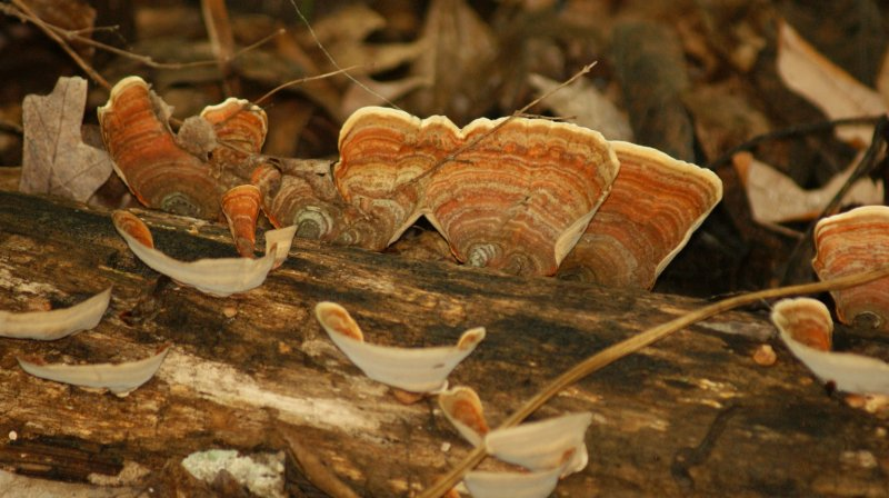 tree fungus2.JPG