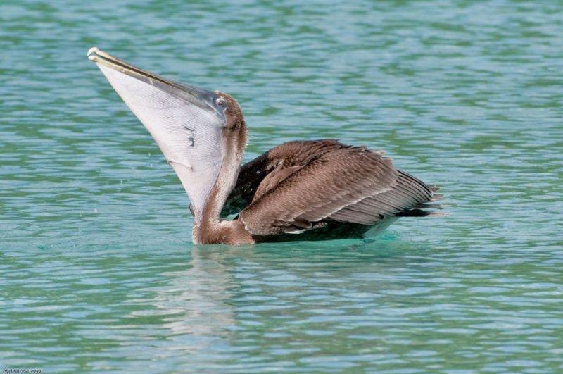 n6897 Pelican