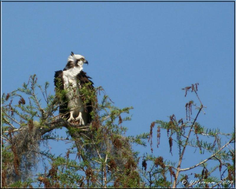 Breeding Osprey