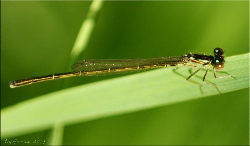 Ischnura posita ~ Fragile Forktail Male