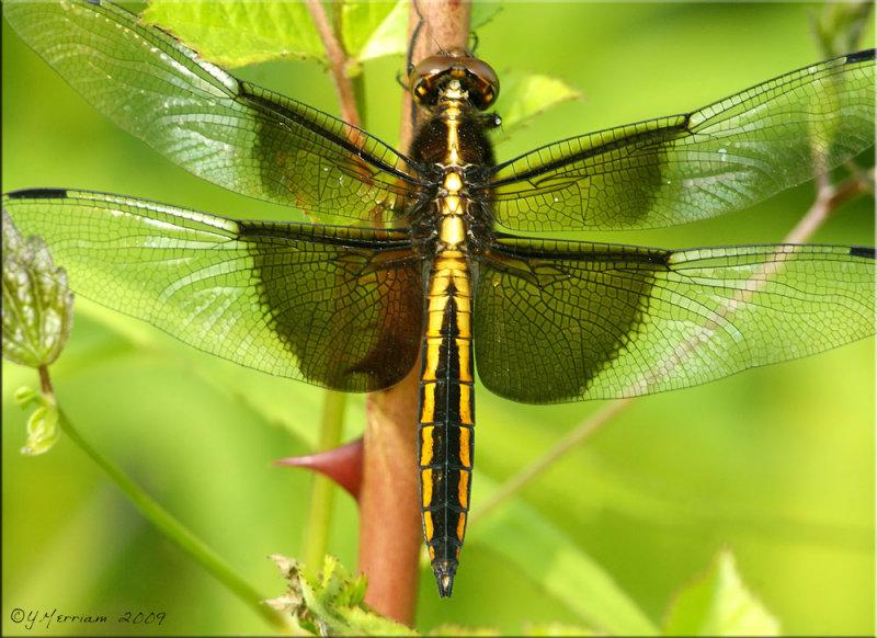 Widow Skimmer - Libellula luctuosa Maturing Male