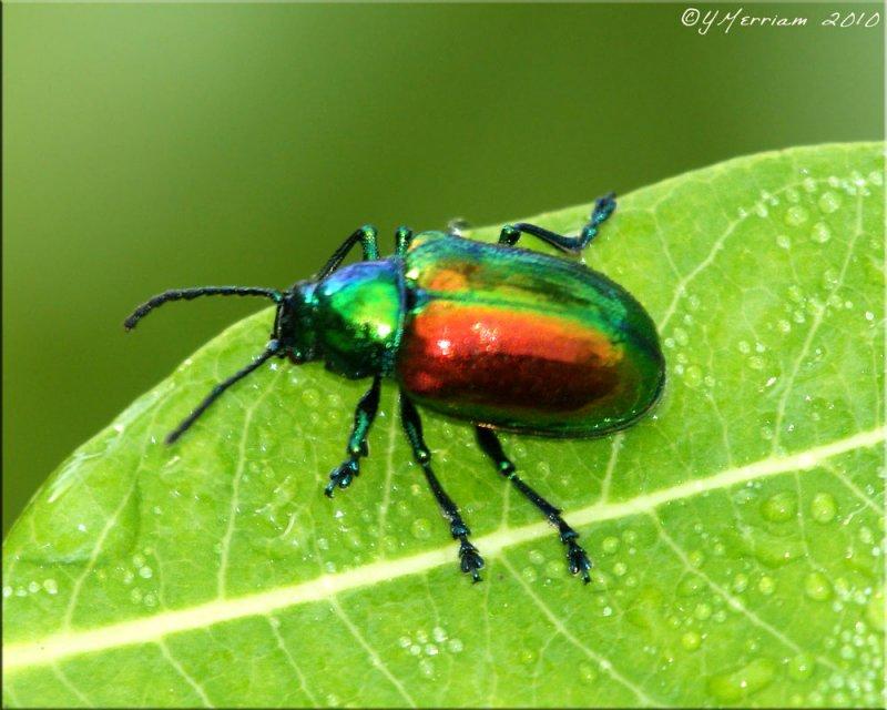 Chrysochus auratus - Dogbane Beetle