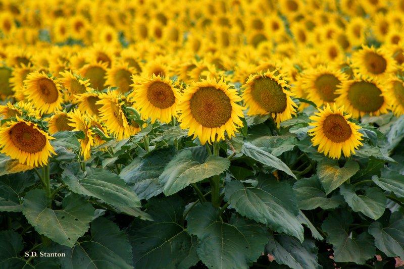 sunflower field.jpg